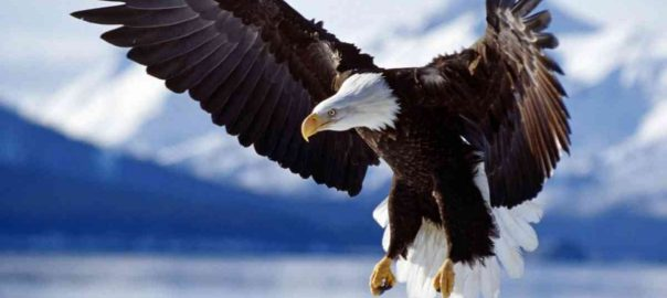 bald_eagle_in_flight_alaska